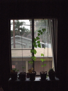 Image description: three beanstalks in a windowsill.  One of them reaches the top of the window.