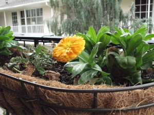 Image description: close-up of a calendula blossom in a basket hanging from a rail.
