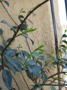 Image description: a jasmine vine with new growth.