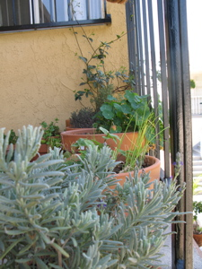 Image description: French lavender in the foreground with other potted plants behind it.