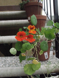 Image description: potted nasturtiums in bloom.