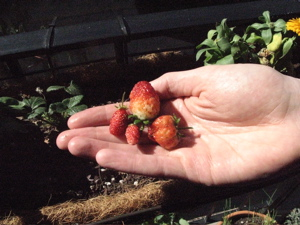 Image description: four ripe strawberries in someone's hand.