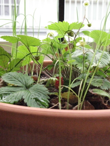 Image description: small strawberries growing in a pot.